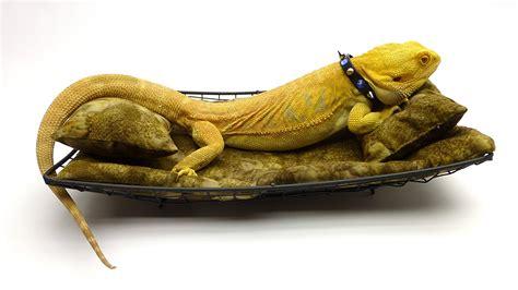 chaise designer carolina designer dragons chaise lounge for bearded