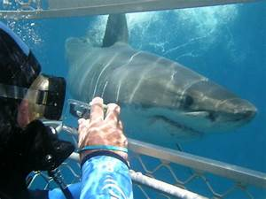Apex Predator Cage Dive: Great White Sharks