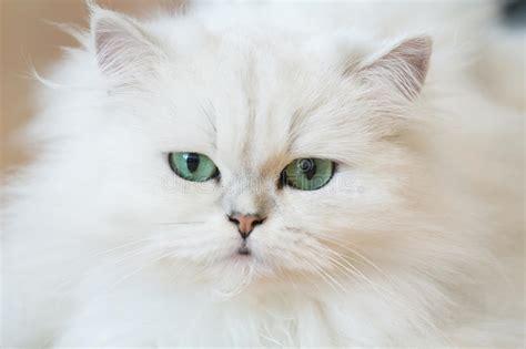 foto persiani gatti persiani bianchi fotografia stock immagine di bello