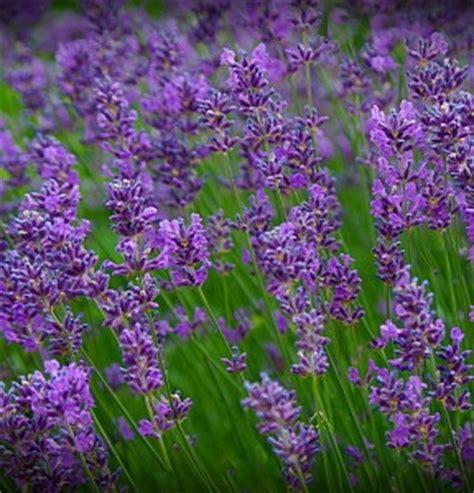 true lavender plants lavender true lavender 4seasons seeds