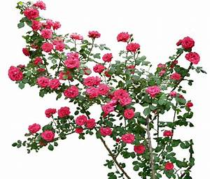 Roses Png – savingourboys.info