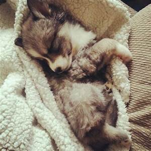 love dog cute husky puppy Cuddle my world sleepy mix ...