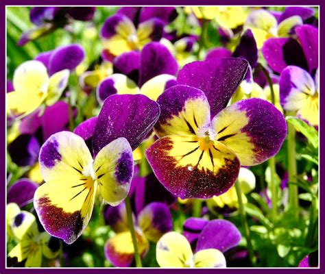 flowers to plant in april top 28 flowers to plant in april plants in egypt april flowers spring flowers to plant in