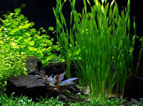 lade per acquario vallisneria sp asiatica my fish