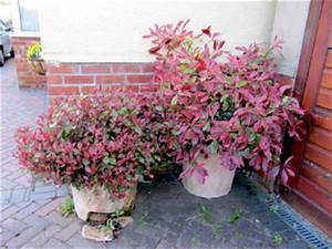 Arbuste Persistant En Pot : quel arbre feuillage persistant la griseline une plante ~ Premium-room.com Idées de Décoration