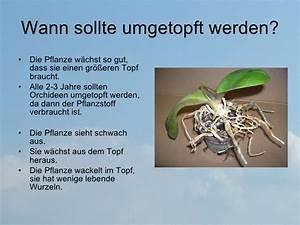 Orchideen Umtopfen Video : orchideen umtopfen ~ Watch28wear.com Haus und Dekorationen