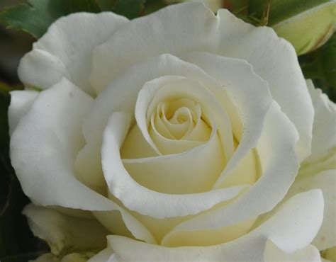 domina rose white hybrid tea rose