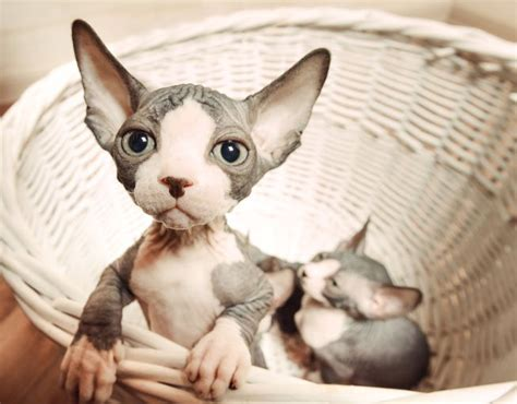 You're Wrong If You Think Sphynx Cats Are Creepy Mnn