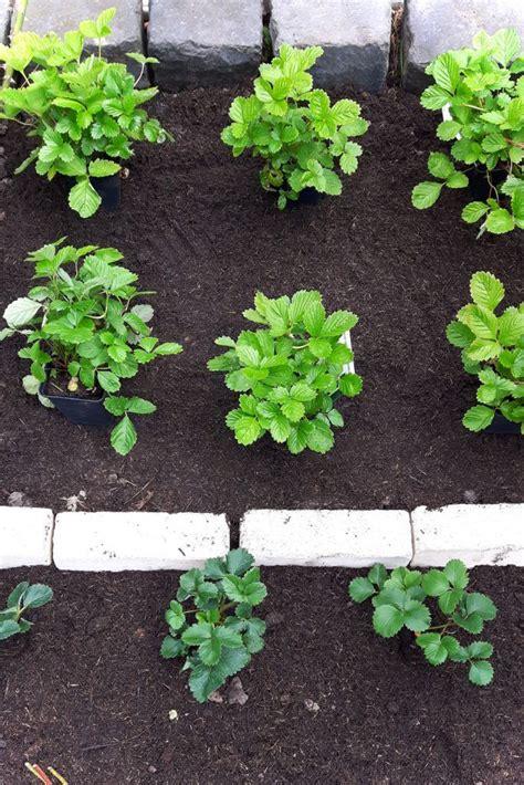 wann erdbeeren pflanzen erdbeeren pflanzen wann ist der beste zeitpunkt obst im