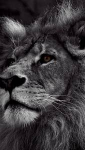 Black And White Lion Wallpaper for iPhone 5