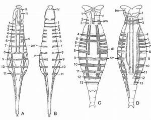 18  Diagram Of Musculature In Brachionus Manjavacas   A  Female