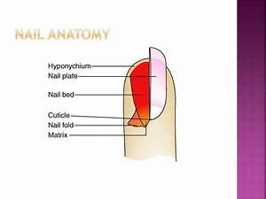 Ppt - Nail Structure  U0026 Growth Powerpoint Presentation