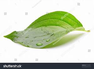 Green Leaf With Water Drops Stock Photo 55723072 ...