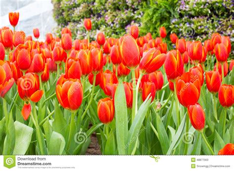tulip flower garden free stock close up of tulip flower garden stock image image 48877563