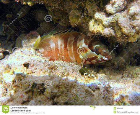grouper blacktip cernia english royalty epinephelus fasciatus fasciata reef timid maldivian coral scientific italian