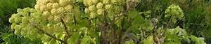 Giftpflanze Mit Stacheliger Frucht : galerie album mit bildern fotos von riesen b renklau frucht gelb gr n heracleum mantegazzianum ~ Eleganceandgraceweddings.com Haus und Dekorationen