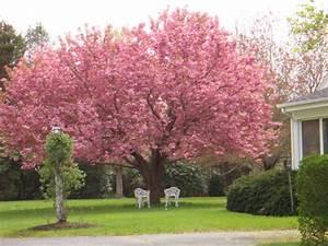 Prunus  U0026 39 Kanzan U0026 39  Malus Floribunda