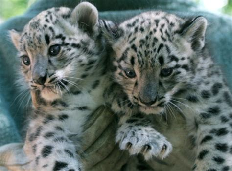 snow leopard cubs zooborns