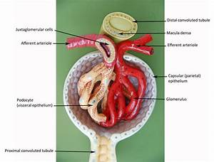Image Result For Renal Corpuscle Lab Model
