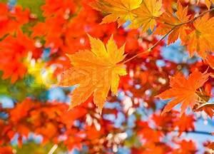 Ahorn Rote Blätter : herbst rote ahorn wald hintergrund stockfoto colourbox ~ Eleganceandgraceweddings.com Haus und Dekorationen