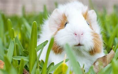Pig Guinea Wallpapers Animal Cool Background Backgrounds