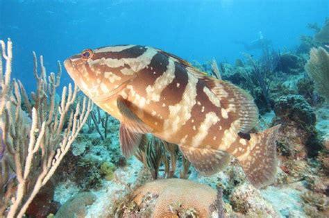 dive  cubas healthy coral reef ecosystem toronto star