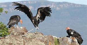 Push Made To Prevent Lead Poisoning In California Condors  Other Animals