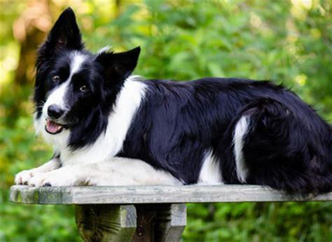 scotch collie dog breed