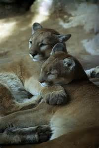 Mountain Lion Cougar Puma Panther Difference