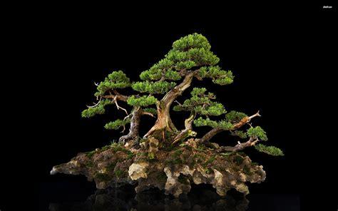 bonsai hd wallpaper background image  id