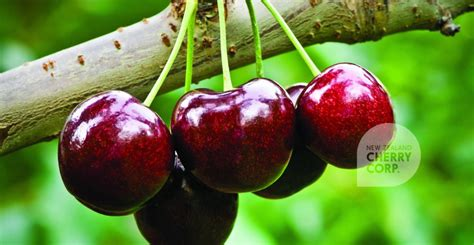 cherries types cherry varieties cherry season nz new zealand cherry corp