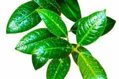 Gummibaum Verliert Blätter : gummibaum ~ Lizthompson.info Haus und Dekorationen