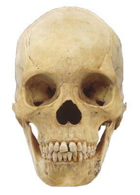 sapiens hominoid