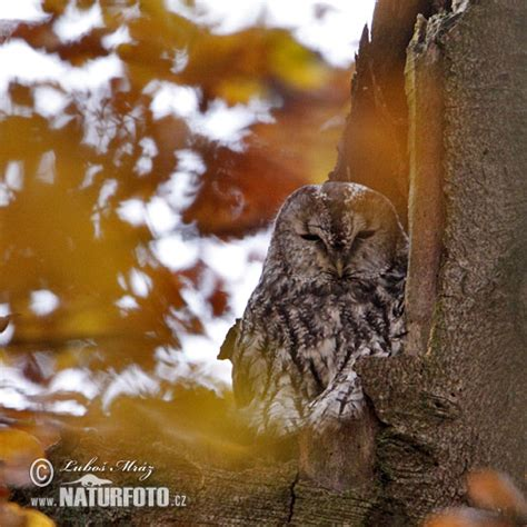 Meža pūce Fotogrāfijas, Bildes
