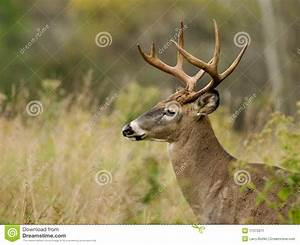 Buck Profile Stock Image - Image: 11373211