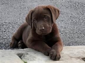 sprüche für oma und opa über 1 000 ideen zu labrador welpen auf welpen hundebabys und labrador retriever