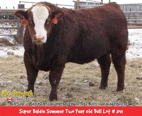 bulls baldie simmental bull angus super fleckvieh