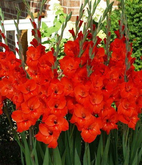 gladiola color rojo gladiolas rojas