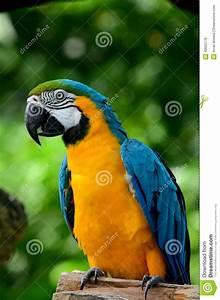 Oiseau Jaune Et Bleu : perroquet d 39 ara d 39 or bleu et jaune photo stock image 43662176 ~ Melissatoandfro.com Idées de Décoration