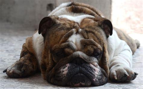 Free P O Bulldog Dog English Asleep Pet Free Image On Pixabay