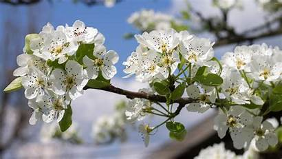 Pear Spring Tree Blossoms Flowers Blossom Wallpapers