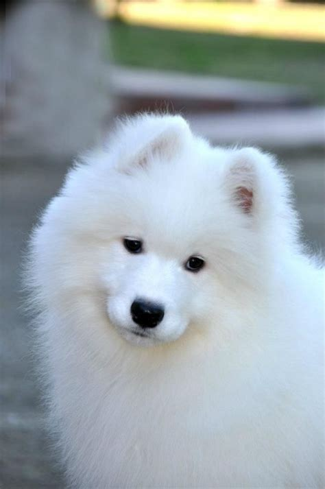 173 Best Images About Samoyed On Pinterest Beautiful