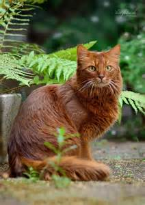 Dark Ginger Cat