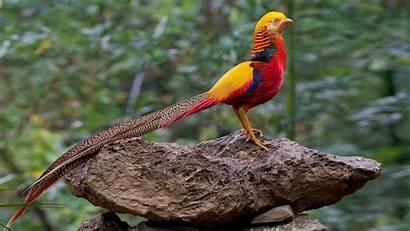 Pheasant Golden Phasianidae Pheasants Chinese Bird Birds