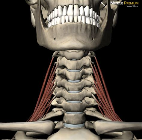 Our bones, muscles, and joints form our musculoskeletal system and enable us to do everyday physical activities. Learn Muscle Anatomy: Scalene Muscles