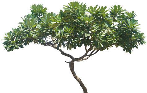tanaman white plumeria tropical plant pictures plumeria