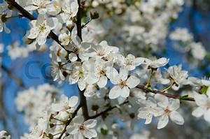 Baum Mit Weißen Blüten : bl henden fr hling baum zweige mit wei en bl ten ~ Michelbontemps.com Haus und Dekorationen