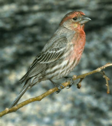 pictures of house finches bird house finch the bird atlas