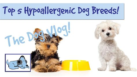 do hypoallergenic dogs still shed top 5 hypoallergenic breeds funnydog tv