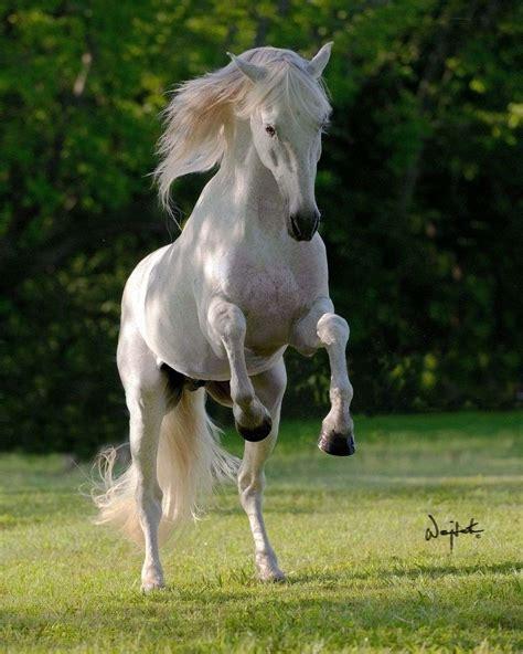 andalusian stallion stud pre champion stallions decoroso grey
